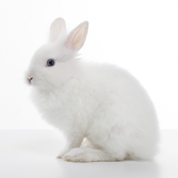 White Rabbit Isolated On Background
